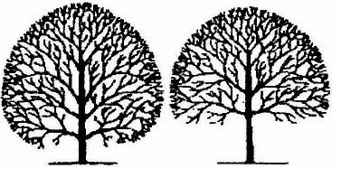 Diagram of Tree Crown Lifting
