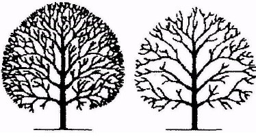 Diagram of Tree Crown Thinning